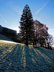 Frosted Shadows (scottprice16) Tags: england lancashire clitheroe castle castlepark winter monkeypuzzletree ribblevalley frost morning tree monkeypuzzle canons95