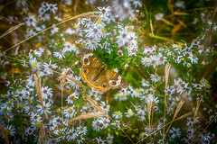blending in (kderricotte) Tags: 35mm18 sonya6000 moth grass flower plant outdoor