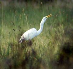 Silberreiher (binaryCoco) Tags: ardeaalba silberreiher reategret egret reiher casmerodiusalbus egrettaalba ardea alba white weis vogel bird eating fressend