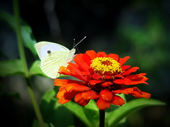 Red and White (R_Ivanova) Tags: nature flower flowers butterfly garden colors color red white green zinnia sony rivanova      plant insect animal