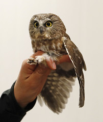 Northern Saw-whet Owl at banding station (Mawrter) Tags: nswo northernsawwhetowl owl sawwhetowl small tiny band banding avian avianresearch research bird birding birds mercercounty nj newjersey nature hand inthehand birdinthehand canon eye eyes wing wings feather feathers cute adorable