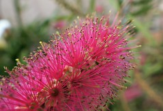 Australian Pink Bottlebrush (Lynne's Images) Tags: theflickrlounge weeklytheme chooseyourown australian flowers unusual pink macro bottlebrush