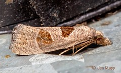 03116 Pelochrista dorsisignatana - Triangle-backed Pelochrista 1 (GF Prairie) (MO FunGuy) Tags: 3116 pelochristadorsisignatana trianglebackedpelochrista grandfather prairie missouri moth