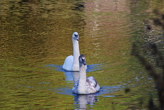 A couple of 'swells' (Halliwell_Michael ## Thanks you for your visits #) Tags: brighouse westyorkshire nikond40x 2016 autumn birds cygnets swans swan cromwellbottom cromwelllake reflection reflections water reflectionslovers