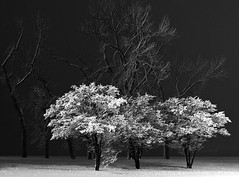 Ansel Adams - Winter Trees (Peer Into The Past) Tags: peerintothepast snow trees nature blackandwhitephotography blackandwhite photography anseladams