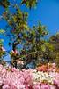 _MG_4434 (TobiasW.) Tags: spring frühling fruehling garden gardenflowers gartenblumen gärten garten blue mountains nsw australien australia backyard public