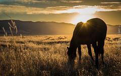 Wild Horse Sunrise (Jami Bollschweiler Photography) Tags: wild horse sunrise onaqui herd utah west desert basin wildlife horses