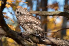 Barred Owl    Img_8295 (NicoleW0000) Tags: barred owl wild wildlife photography ontario nature preybird birdofprey strix varia
