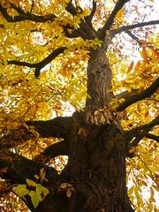 Eßkastanie (Jörg Paul Kaspari) Tags: baum tree abre naturdenkmal eskastanie keste castanea sativa castaneasativa baumkrone krone herbst autumn fall herbstfärbung autumncolor