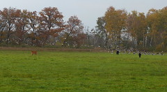 'O, there are more to chase away, but I see that help is on the way!' (joeke pieters) Tags: 1310220 panasonicdmcfz150 heckrunderen heckrinder heckcattle kalf kalb calf gans ganzen goose geese burlovardingholtervenn landschap landscape landschaft paysage herfst herbst autumn fall automne