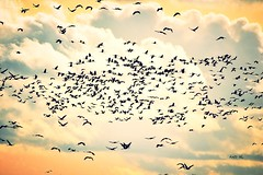 migration des grues (AND HL) Tags: migration grues oiseau