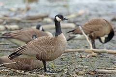 Lesser Canada Goose, Westchester Lagoon, Anchorage, Alaska (Terathopius) Tags: westchesterlagoon anchoragecounty anchorage alaska lessercanadagoose brantacanadensisparvipes brantacanadensis canadagoose
