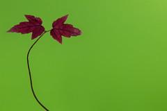 Tiny Maple Leaves on Green (KellarW) Tags: autumnleaves autumn singleleaf negativespace mapleleaf colorfulleaf leaf isolatednature autumnalcolors autumnal fall autumnalleaf red redleaves leaves autumnalleaves fallcolors ongreen meme fallleaf rightoffset redmapleleaf autumnleaf brownleaf memeable isolated redleaf fallleaves colorfulfoiliage