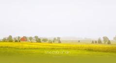 The color of rain (La couleur de la pluie) (patrice ouellet) Tags: patricephotographiste thecolorofrain lacouleurdelapluie mist brouillard countryside prairie