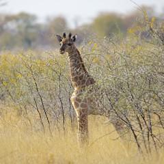 Baby giraffe (proefdier) Tags: africa afrika animal baby camelopardis etosha giraffe namibia nationalpark wildlife