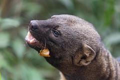 Profile of a tayra eating (Tambako the Jaguar) Tags: eating profile portrait fruit tayra brown male mustelid papiliorama kerzers bern switzerland nikon d5