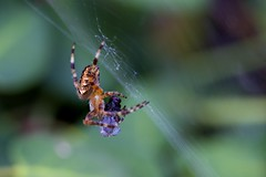 Dinner is Served (kellimatthews) Tags: macro nature dinner insect spider spiderweb