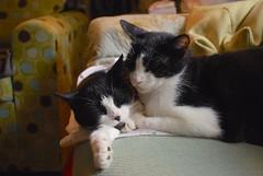 Tina (female) on the left, Idaho (male) on the right (rootcrop54) Tags: cats cat chat mask idaho tuxedo kitteh multiple tina masked 猫 macska gatto katzen kot kočka kedi katt kissa köttur mačka kucing кошка 고양이 tuxedoes katė γάτα maček kaķis pisică gorbe cc2000