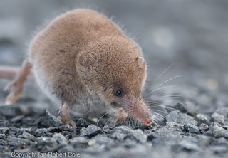 Pygmy Shrew at Druridge Bay in Northumberland