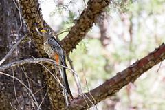 Elegant Trogon female (Trogon elegans) (jrothdog) Tags: arizona bird nature birds wildlife birding adventure herps trogon fieldherping eleganttrogon trogonelegans herping rothmeyer