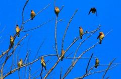 cedar waxwings along Prairie Farmer Trail IA 854A9177 (naturalist@winneshiekwild.com) Tags: county reis iowa trail larry cedar farmer prairie waxwings winneshiek