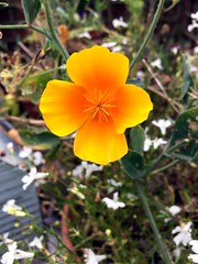 Golden (tezzer57) Tags: flower yellow urbannature californianpoppy