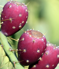 prickly pear (JoelDeluxe) Tags: pink red summer cactus newmexico fruit cacti albuquerque september pear late syrup nm joeldeluxe jam tuna southvalley prickley 2015