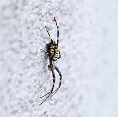 schöne Spinne... (pippilotta68) Tags: spinne arachnida gestreift gelbschwarz wespenspinne zebraspinne gliederfüsser