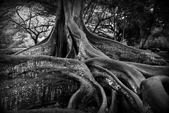 Moreton Bay Fig Tree (Tanya Kogan) Tags: moretonbayfig allertongarden