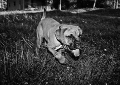Acadia The Boxer Puppy (thelearningcurvedotca) Tags: portrait dog pet playing toronto ontario canada motion cute beautiful face look animal puppy outdoors photography photo movement friend funny foto looking noiretblanc expression background hound canine canadian domestic photograph boxer breed companion active iamcanadian bwemotions torontoist blackwhitephotos bej true2bw cans2s blackandwhiteonly bwartaward discoveryphotos yourphototips briancarson blogtophoto thelearningcurvephotography wwwthelearningcurveca