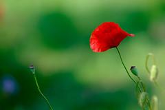 Red and Green (der LichtKlicker) Tags: red summer plant flower green rot fuji bokeh sommer pflanze meadow wiese seed poppy fujifilm grn blume buttery samen mohnblume samenkapsel xt1 bokehlicious butterweich