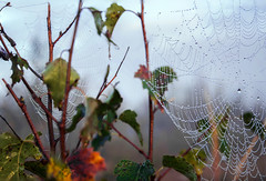 Two cobwebs (Pascal vd Wassenberg) Tags: morning autumn two plant abstract art leave texture nature wet netherlands leaves closeup landscape outside photography early nice bush fotografie dof dynamic blossom outdoor good kunst sony herfst nederland natuur nat stack awsome blad foliage cobweb dew twig mooi organic spinnenwebben twigs cobwebs goed buiten ochtend twee uden landschap noordbrabant natuurmonumenten spinnenweb struik bladeren textuur dichtbij vroeg organisch douw takje takjes bloeien dynamisch organicpattern distanse naturemonuments udenoord organischpatroon