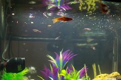Aquarium-2 (sleepr56) Tags: pet fish bus water vw lost aquarium neon vampire fresh sword phish tetra freshwater neontetra platti platty fishofflickr vampiresword