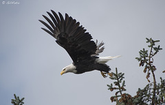Eagle Flight Flkr1830 ( Gillfoto) Tags: alaska eagle bald juneau haliaeetusleucocephalus