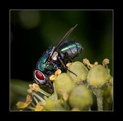 Blowfly (tkimages2011) Tags: plant macro insect fly sthelens bluebottle blowfly carrmill