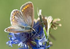 L'Azur commun - Polyommatus icarus -  (michel lherm) Tags: papillons polyommatusicarus lpidoptres rhopalocres azurcommun