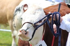 Mind my nose . . . . (Paul@Bristol) Tags: cattle rope bull nosering bullring