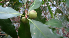 Actephila lindleyi (grandolebillyboy) Tags: euphorbiaceae lindleyi rainforestplant phyllanthaceae australiannativerainforestplant actephila queenslandrainforestplant actephilalindleyi 2bid116