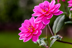 Macro-24637.jpg (CitizenOfSeoul) Tags: flower macro germany deutschland blumen garten dahlien sersheim