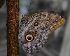 Wings full of eyes (Froschknig Photos) Tags: eye butterfly wings leipzig le flektogon auge eyecatcher schmetterling flgel botanischergarten 2015 michau flickrtreffen a6000 a6k froschknigphotos sonyalpha6000 ilce6000 wingsfullofeyes