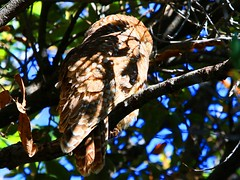 spotted owl at Miller Canyon AZ 854A0233 (lreis_naturalist) Tags: arizona reis canyon mexican miller larry owl spotted subspecies