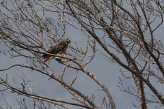 Guaraguao (Buteo jamaicensis) - Red Tailed Hawk (Dax M. Roman E.) Tags: redtailedhawk buteojamaicensis pasobajito guaraguao cordilleracentral laespañola reservacientificaebanoverde rcev daxroman avesenrepublicadominicana birdindominicanrepublic