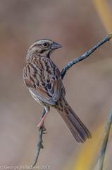 Song Sparrow (gvall66) Tags: sparrow songsparrow lindennj hawkrise