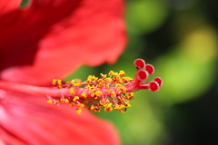 Red (Alex Mary) Tags: flower flowers macro detail red pollen dof canon