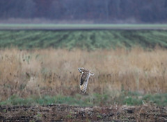 Black Dirt (slsjourneys) Tags: owls shortearedowls