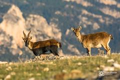 Cabras montesas (Bruno Durn) Tags: naturaleza mountains nature wildlife explore spanish roja ecoturismo ibex walkinthewild wildwatching geopixel