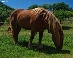 Comiendo... (Nati C.) Tags: naturaleza caballo paisaje girona nik catalunya comiendo lagarrotxa parcnatural