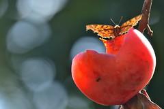 (myu-myu) Tags: nature japan butterfly insect nikon mygarden   d800   diospyroskaki polygoniacaureum kakipersimmon  afsnikkor300mmf4epfedvr