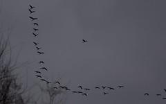 Ibis falcinelle filant vers L'Ouest (+ de 100) - IMG_6059 (6franc6) Tags: 30 languedoc gard décembre 2015 petitecamargue réserve scamandre 6franc6