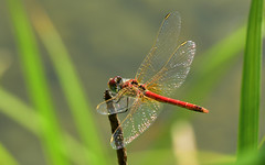 Frhe Heidelibelle, Sympetrum fonscolombii (staretschek) Tags: libelle mnnchen sympetrumfonscolombii frheheidelibelle segellibelle